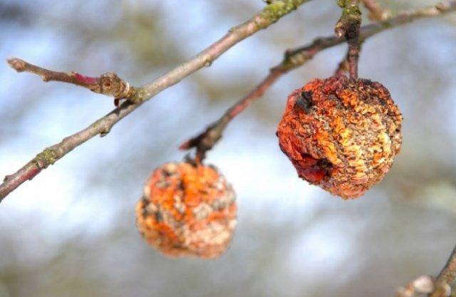 Куда девать падалицу яблонь и груш: простые решения