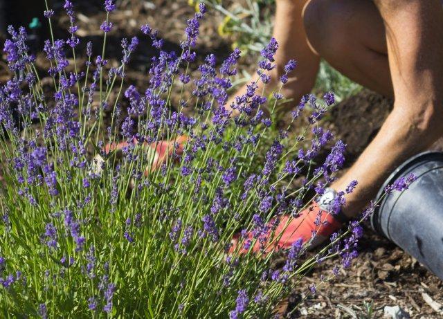 Лаванда не зимует: как спасти цветок от морозов