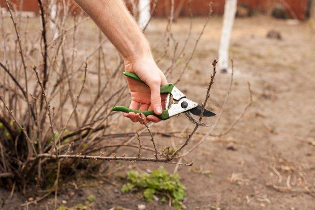 Обрезка смородины осенью - пошаговая инструкция для новичков