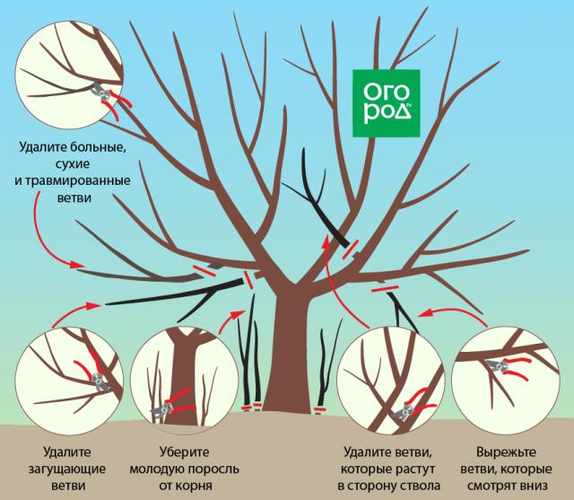 Обрезка вишни и черешни осенью - советы новичкам в картинках