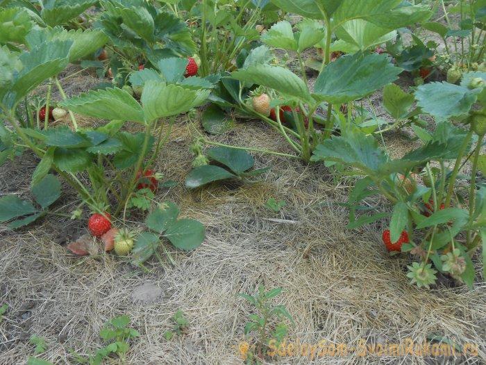 Осенняя посадка садовой клубники со всеми нюансами для обильного урожая