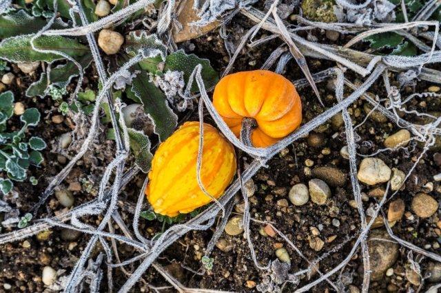 Первые осенние заморозки – чего нужно бояться дачнику?