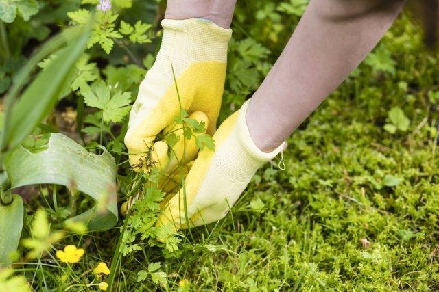 Почему нельзя оставлять сорняки на грядах на зиму