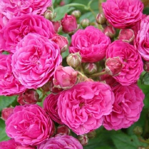 Самоочищающиеся сорта роз: фото и особенности выращивания