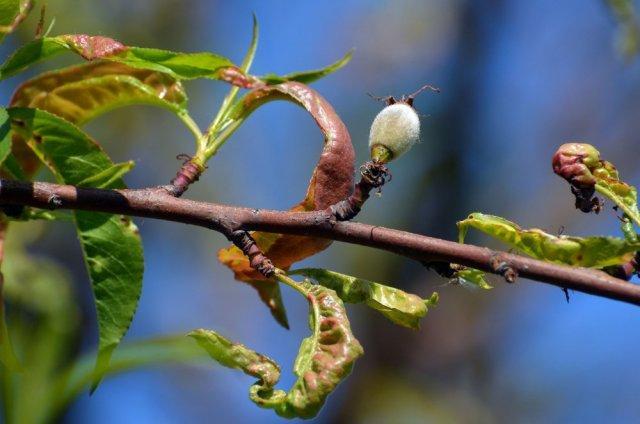 Самые опасные садовые болезни: фото, описание и меры борьбы в таблицах