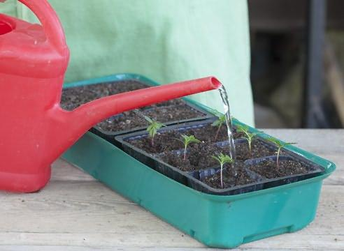 Семена бархатцев фото