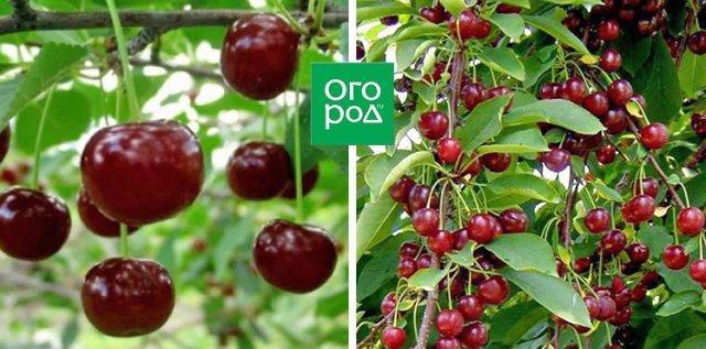 Сорта вишни, устойчивые к монилиозу (для Подмосковья и не только)