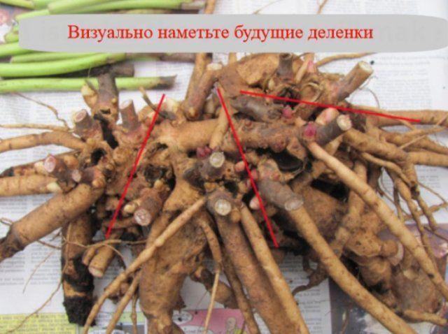 Травянистые пионы – когда делить и как правильно пересаживать (мастер-класс с фото)