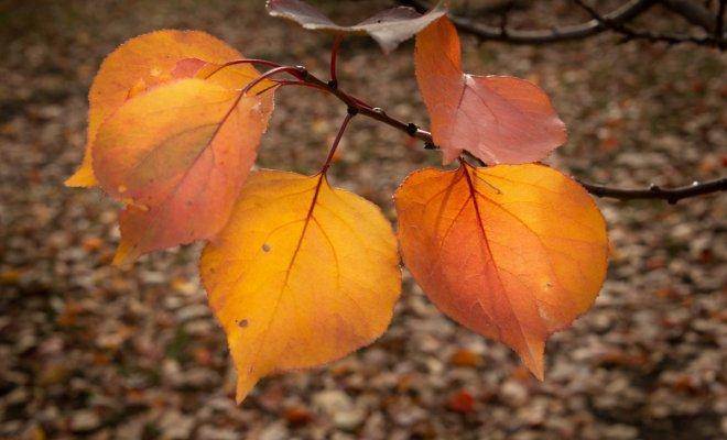 Уход за абрикосом осенью - подготовка причудливого деревца к холоду