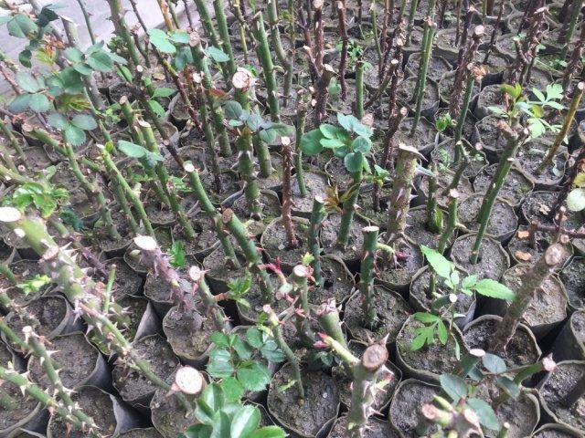 Укореняется черенки розы летом - что с ними делать осенью