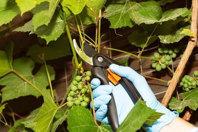 Потому что они собирают листья с винограда летом и осенью, и это возможно