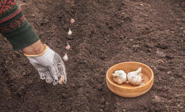 7 однолетников, которые можно и нужно сеять под зиму