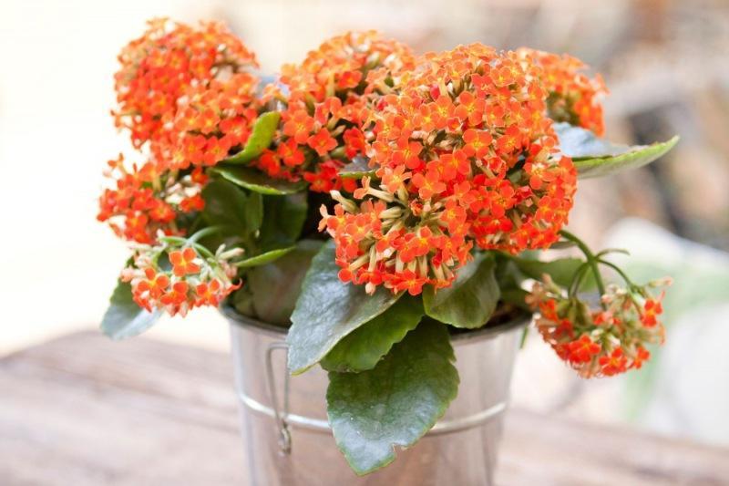 Цветок каланхоэ - цветок жизни