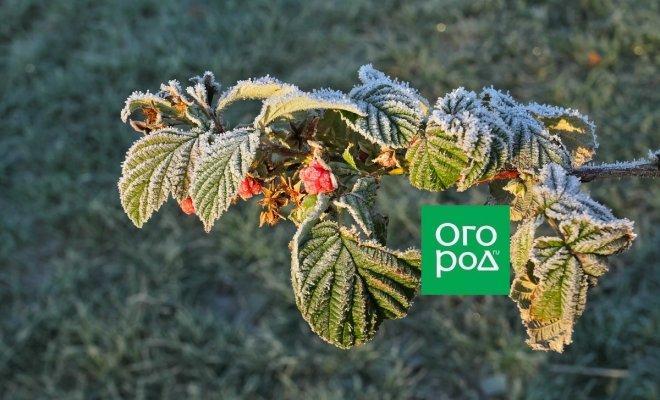 Готовим ягодные кусты на зиму: 5 вещей, которые нужно помнить