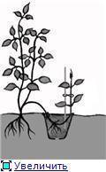 Как размножить черемуху