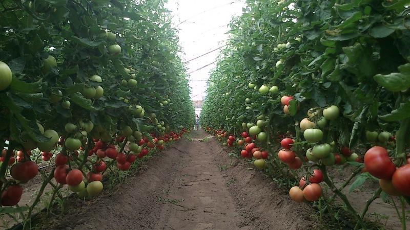 Китайский способ выращивания томатов. Его используют, когда земли почти нет, а потому еще не знают, что делать с урожаем