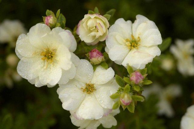 Лапочка похожа на розу: новые сорта махровой с более необычной окраской