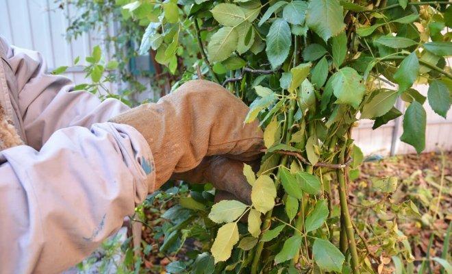 Осенний уход за розой: 10