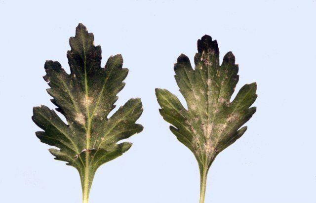 Почему листья хризантемы почернели - 6 возможных причин