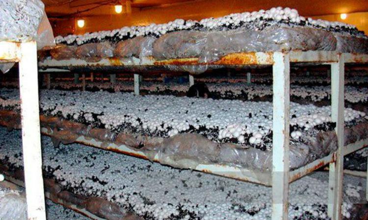 Выращиваем шампиньоны в сарае в ящиках