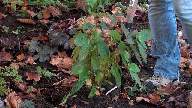 Уход за гортензией осенью - правильная подготовка куста к зиме