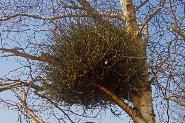 «Ведьмин метла» на деревьях - лечить или копать?